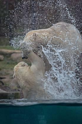 Die Eisbären geniessen die Abkühlung.