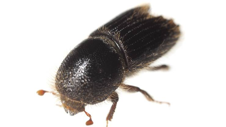 Der Name des Buchdruckers stammt von den Larvengängen des Käfers, deren Aufsicht geschnittenen Lettern ähnelt. Der Buchdrucker lebt in der Schweiz im gesamten Verbreitungsgebiet der Fichte bis auf 2000 m. Der Höchstfund liegt auf 2250 m. Er besiedelt vor allem Fichten, kann aber auch Föhren befallen. Neben dem Buchdrucker ist auch der Kupferstecher in den Aargauer Wälder aktiv. Dieser ist etwas kleiner und hat es vor allem auf jüngere Baumbestände abgesehen.