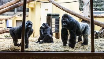 Die Gorillas im Zoo Zürich warten auf Besucher. Bald werden sie erlöst.
