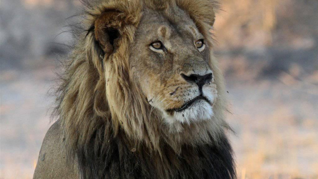 Der Löwe Cecil im Jahr 2013