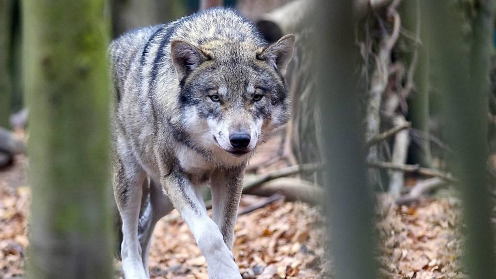 Obwaldner Regierung will Wolf schon ab weniger Rissen an den Kragen