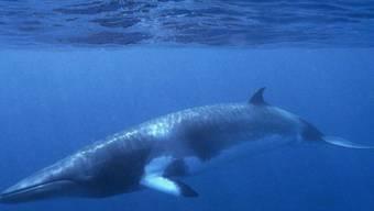 Erstmals seit 17 Jahren werden in Island keine Zwergwale (Bild) und auch keine Finnwale mehr gejagt. Nicht etwa aus Liebe zum Tier, sondern weil der Handel damit stockt. (Archivbild)