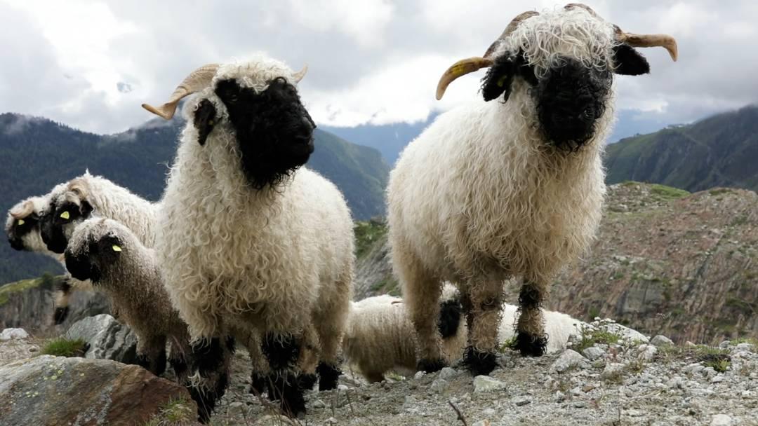 Alpaufzug: Walliser Schwarznasenschafe steigen von der Belalp auf die Inner Aletschji auf