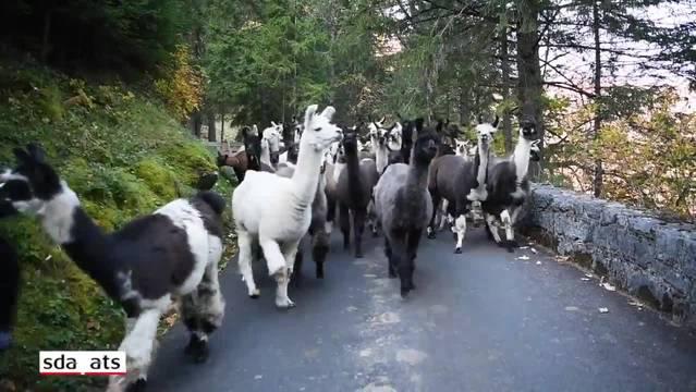Der Sommer ist vorbei: Rund siebzig Lamas der Familie Luginbühl wurden am Samstagnachmittag von der Griesalp im Kiental nach Tschingel getrieben.
