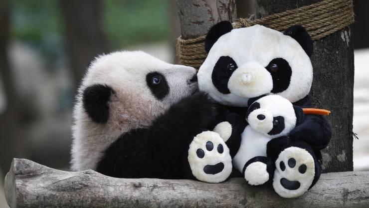 Ein sechs Monate alter Panda spielt mit einer Stoff-Abbildung seiner Gattung