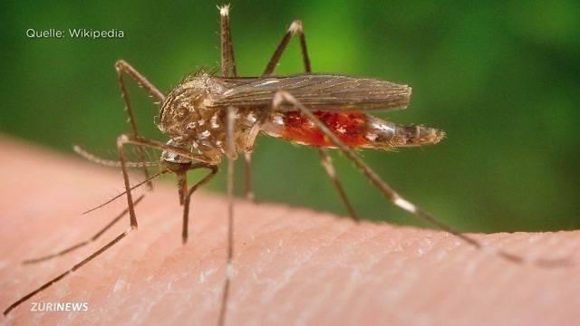 Gefährliche Mücke im Visier