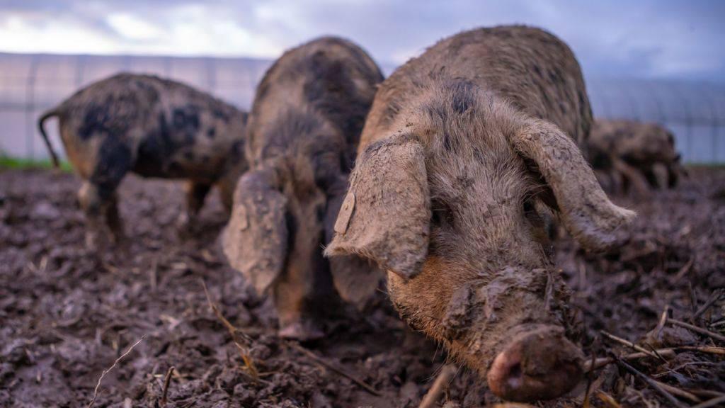 Erster Praxisversuch im Kanton Zug: Woll- und Turopolje-Schweine dezimieren auf natürliche Art den Erdmandelgrasbestand auf einem befallenen Feld im Gebiet Bibersee.