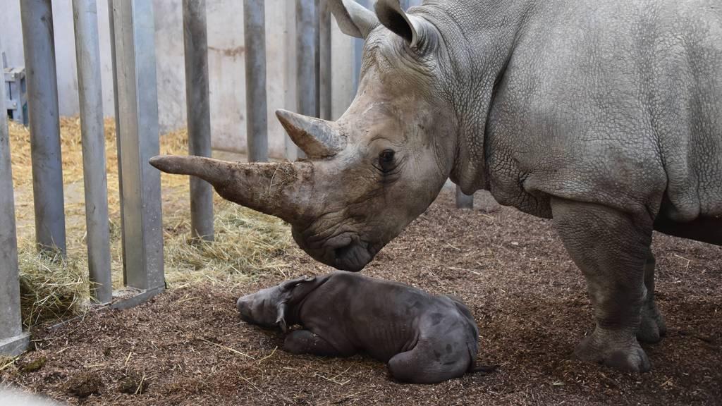 Das neugeborene Zürcher Nashornbaby heisst Ushindi