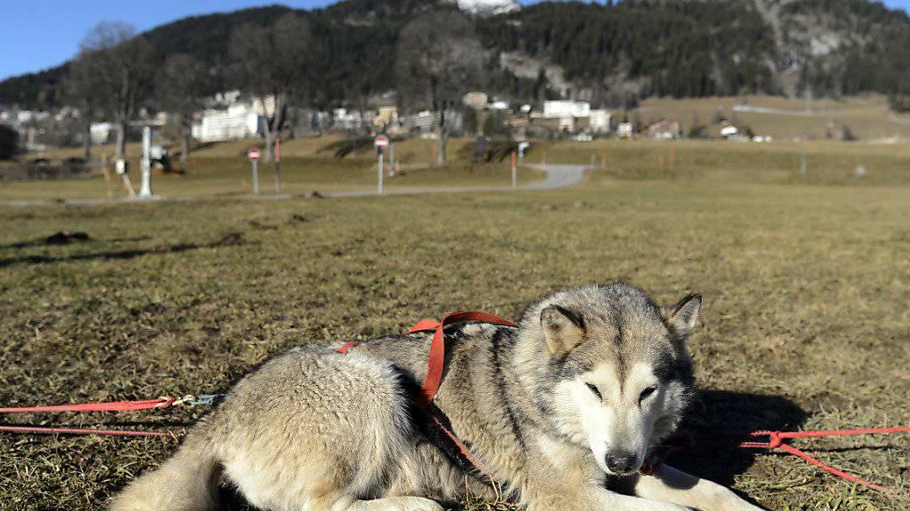 Bei den beschlagnahmten Hunden handelt es sich um solche Huskys. (Archivbild)