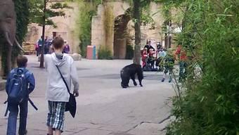 Ein Schimpanse mitten unter den Zoobesuchern