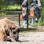 Medieninformation des Tierpark Lange Erlen zu laufenden Projekten wie neuer Spielplatz, Ersatzweiher und den Ausbau der Wisent-Anlage. Im Bild Wisent in der bestehenden Anlage