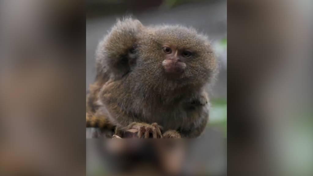 Chester Zoo begrüßt Zwillingsäffchen in Tischtennisgrösse