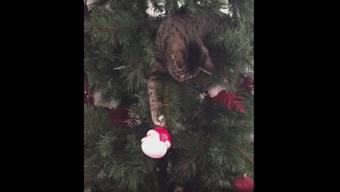 Was für ein Spass: Büsi Kona spielt mit der Weihnachtskugel.