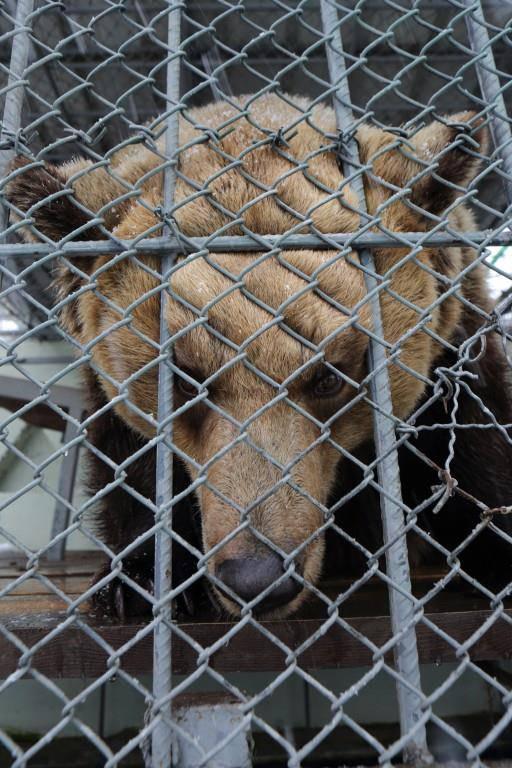Das Weibchen im albanischen Mini-Zoo kämpft mit den Gitterstäben. (© zVg)