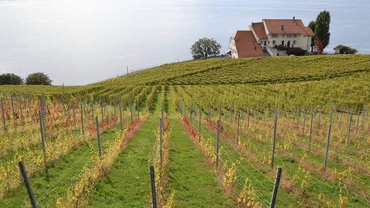 Die Weinreben vom Lavaux