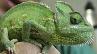 Ein grünes Chamäleon (Symbolbild)
