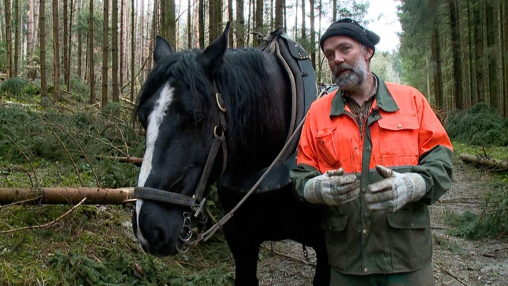 Vorsicht Borkenkäfer: Prophylaktische Waldräumarbeiten mit Rückepferden