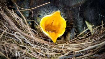 Viele Jungvögel warteten diesen Frühling vergebens auf Nahrung - das schlechte Wetter hat die Beutesuche für ihre Eltern schwierig gemacht. (Symbolbild)