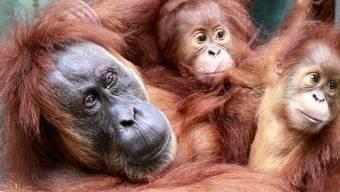 Orang-Utan-Mutter Gober mit ihren Zwillingen