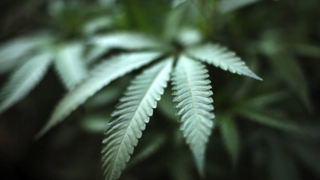 Keine Versuche mit Cannabis-Experimentierartikel