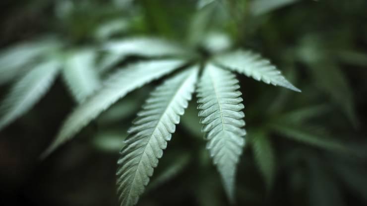 Der Nationalrat muss entscheiden, ob die Abgabe von Cannabis zu Versuchszwecken erlaubt werden soll. Seine vorberatende Kommission ist dagegen. (Themenbild)