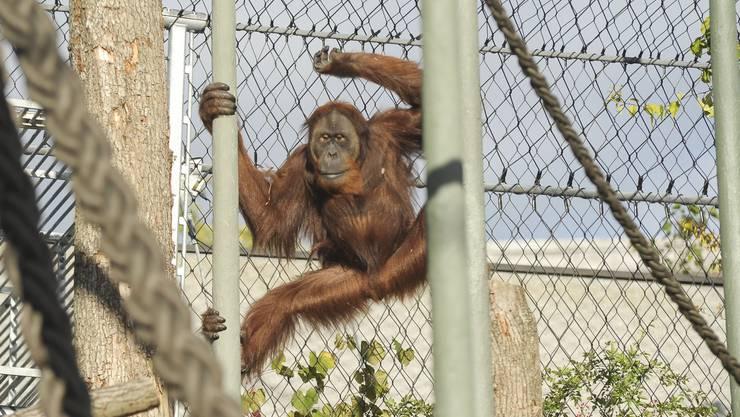 Die neue Affenanlage im Zoo Basel. Ein Orang Utan betritt zum ersten Mal die Aussenanlage.