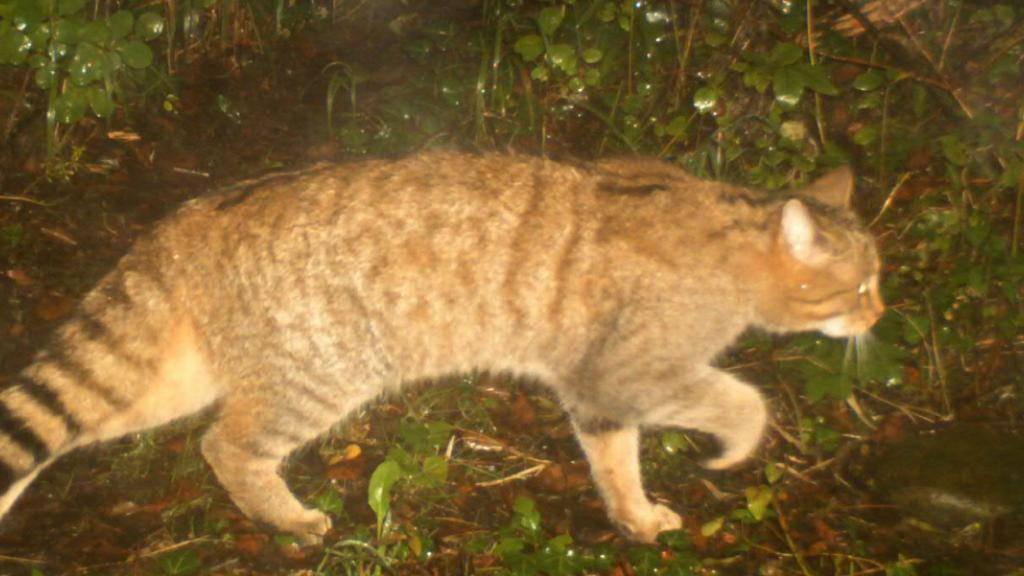 Nach der Ausrottung Ende des 19. Jahrhunderts sind im Kanton Genf erstmals wieder Wildkatzen nachgewiesen worden.
