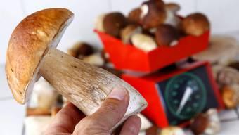 Ein Luzerner Pilzsammler hat mehr als sechs Mal so viele Pilze gesammelt wie erlaubt. Die Polizei beschlagnahmte die Pilze und verkaufte sie zu Gunsten der Staatskasse. (Archivbild)