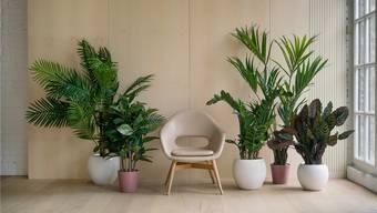 Wenn man nach jahrelangem Dasein als «Schwarzdäumler» plötzlich mit Pflanzen umgehen kann, hat das schon etwas Einschüchterndes. (Archibild)