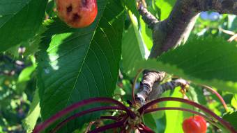 Fast 90 Prozent der Obsternte wurde durch den Jahrhundertfrost zerstört.