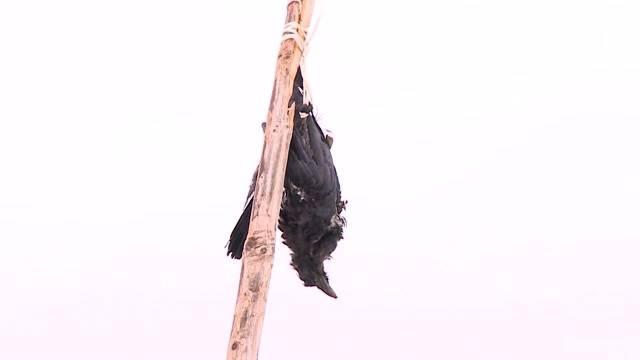 Tote Krähen als Vogelscheuche