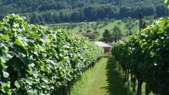Warten auf die Lese: Pinot-Noir-Traube in Witterswil.