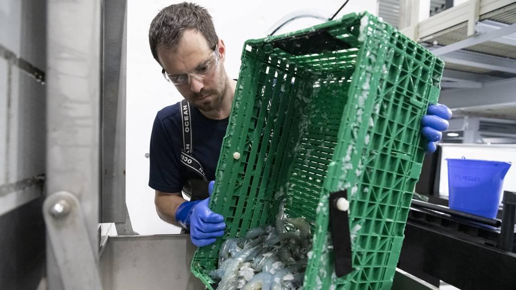 Dank Netflix-Doku: Plötzlich interessieren sich alle für Aargauer Shrimps