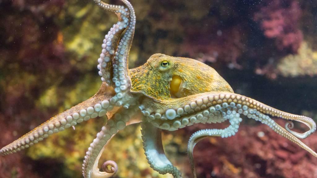 Der Oktopus: kluger Baumeister, Jäger und Travstiekünstler