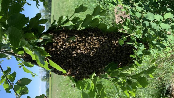 Bienenvolk auf Wanderschaft...