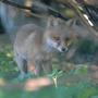 Vermehrt trifft man Füchse inzwischen auch in den Siedlungen an.