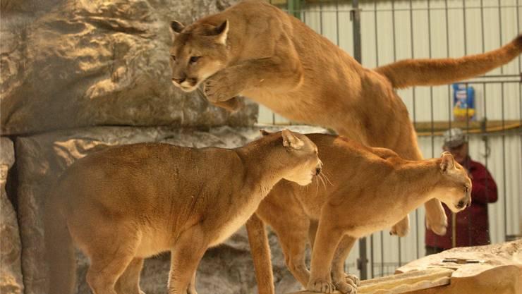 In Subingen wird es keine Shows mehr mit den Pumas geben. Sie wurden bereits in den Sikypark in Crémines gezügelt.