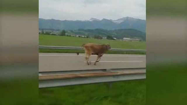Eine Rinderherde hat am Montagabend einen Ausflug auf die Autobahn gemacht.