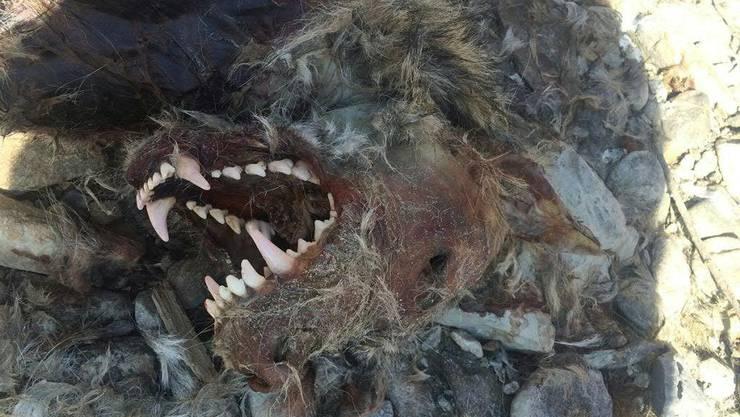 Der stark verweste Kadaver des Wolfes M63 wurde im März 2016 am Ufer der Rhone westlich von Raron VS gefunden. (Archivbild)