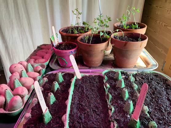 Empfindlichere Pflanzen wie Tomaten mögen einen warmen Fenstersims. Töpfe braucht es dazu nicht.