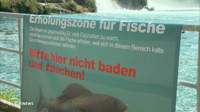 Grösseres Fischsterben im Rhein setzt ein