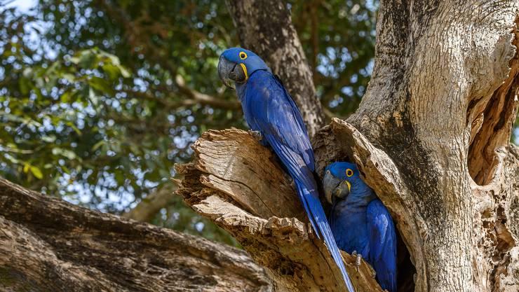 Die Hyazinth-Aras sind mit etwa einem Meter Länge die grössten aller Papageien.