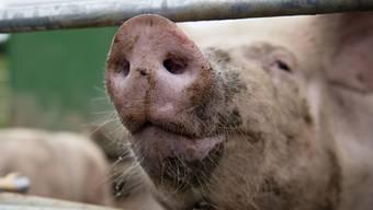 Bei einem Feuer in Alchenstorf BE sind am früheren Freitagmorgen mehrere Dutzend Schweine umgekommen. (Themenbild)