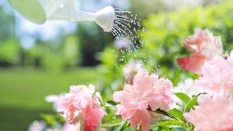 Pflanzen bei hohen Aussentemperaturen richtig zu pflegen, ist keine einfache Sache.
