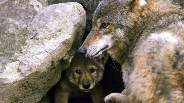Im Kanton Graubünden sind wieder zwei Wölfe bei Verkehrsunfällen ums Leben gekommen (Themenbild).