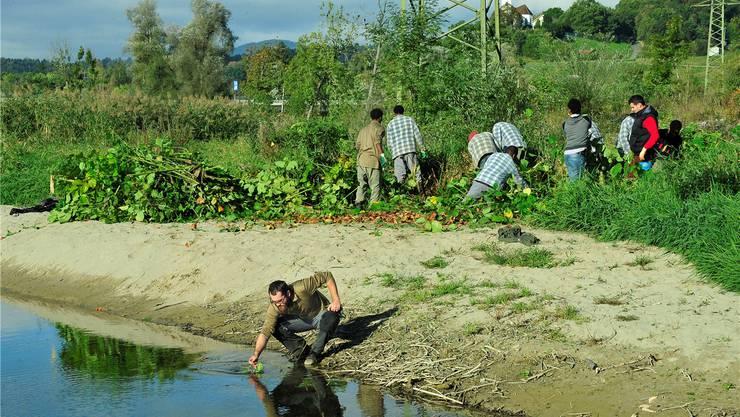 Die Afrikaner gehen tüchtig zur Sache; derweil fischt Projektleiter Samuel Erzinger ein paar Knöterich-Blätter aus dem Nebenarm der Aare.