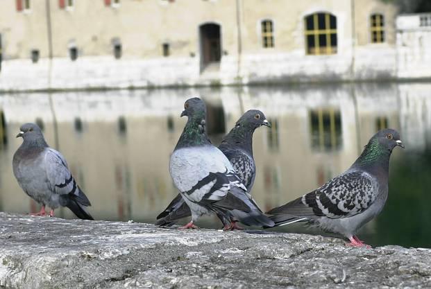 Tauben versammeln sich an der Aare, kein seltener Anblick.