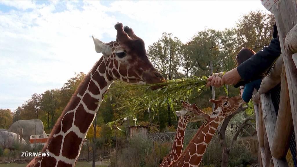 Zoo Zürich beherbergt nach über 60 Jahren wieder Giraffen