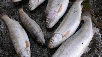 Weshalb die Fische verendeten, ist noch nicht ganz abgeklärt. (Symbolbild).