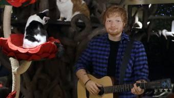 """Ed Sheerans Wachsfigur in """"Lady Dinah's Cat Emporium Cat Cafe"""" in London. Der bekennende Katzenfan hat jetzt seinen beiden Katzen einen eigenen Instagram-Account eröffnet. (Archivbild)"""